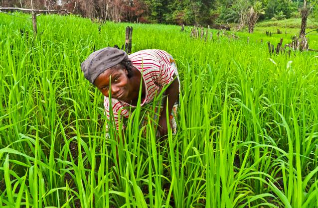Woman planting rice in Liberia